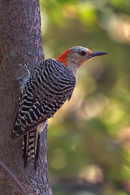 Red-bellied Woodpecker by member Butch Lama