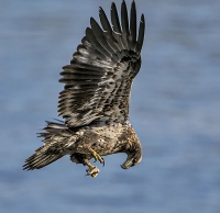 Copyright: Scott Evers Immature Bald Eagle making a mid-air adjustment with the small fish in his talons.