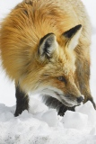 dsc0115_20130423_382_dsc0115-don-moricecloseup-of-red-fox_01